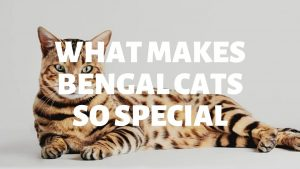 What Makes Bengal Cats So Special?