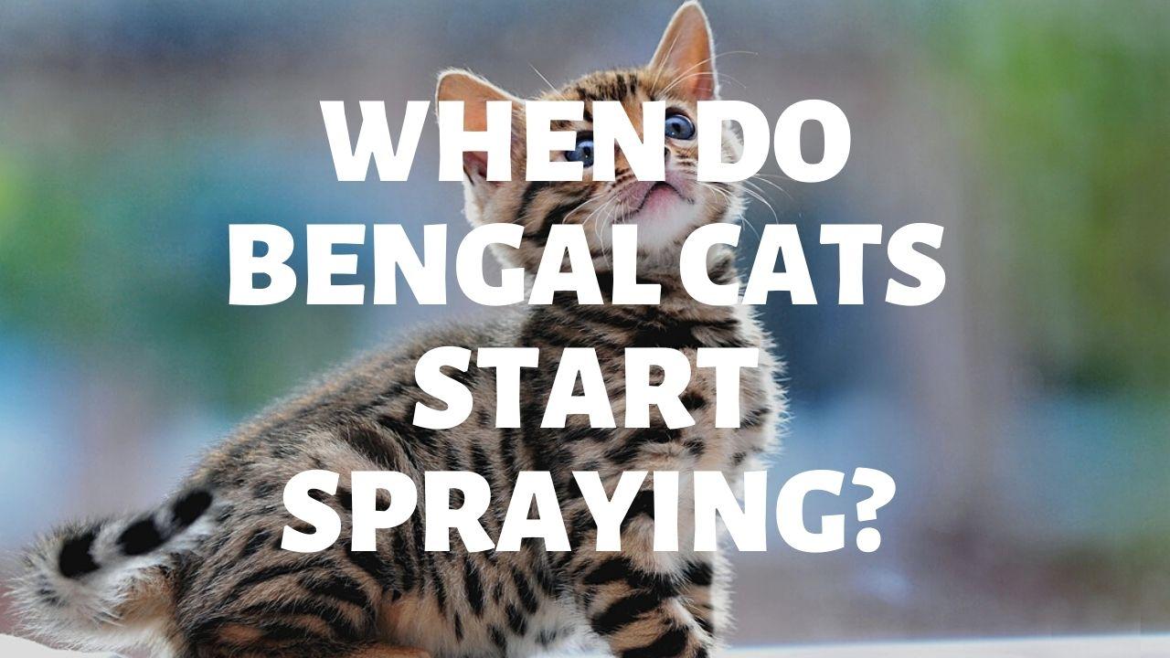 When Do Bengal Cats Start Spraying?