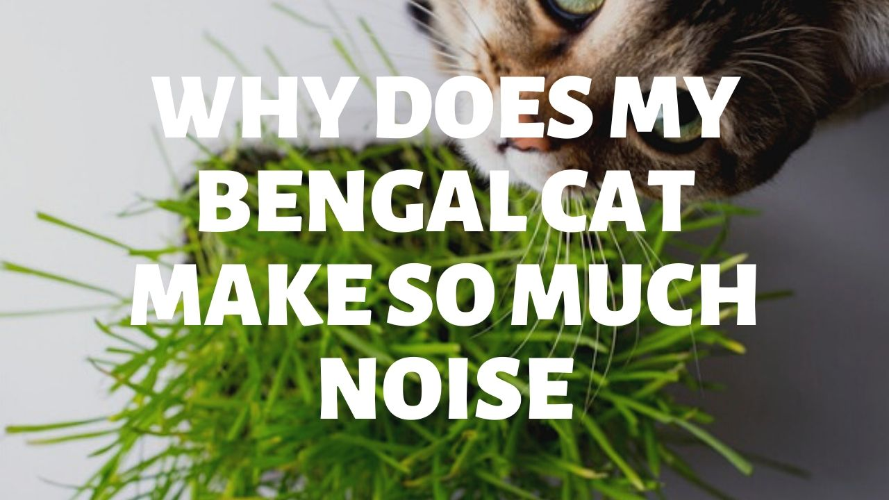 Why Does My Bengal Cat Make So Much Noise?