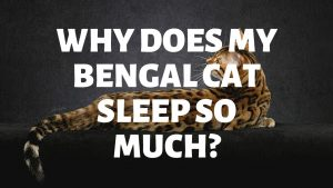 Why Does My Bengal Cat Sleep So Much?