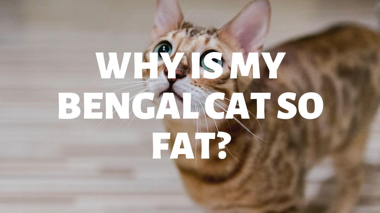 Why Is My Bengal Cat So Fat?