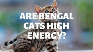 Are Bengal Cats High Energy?