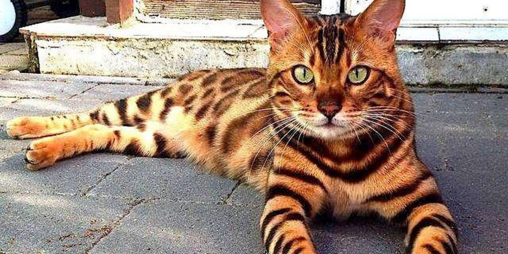 Is it ok for your Bengal cat to be on its own?