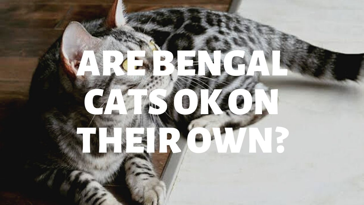 Are Bengal Cats Ok On Their Own?