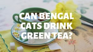 Can Bengal Cats Drink Green Tea?
