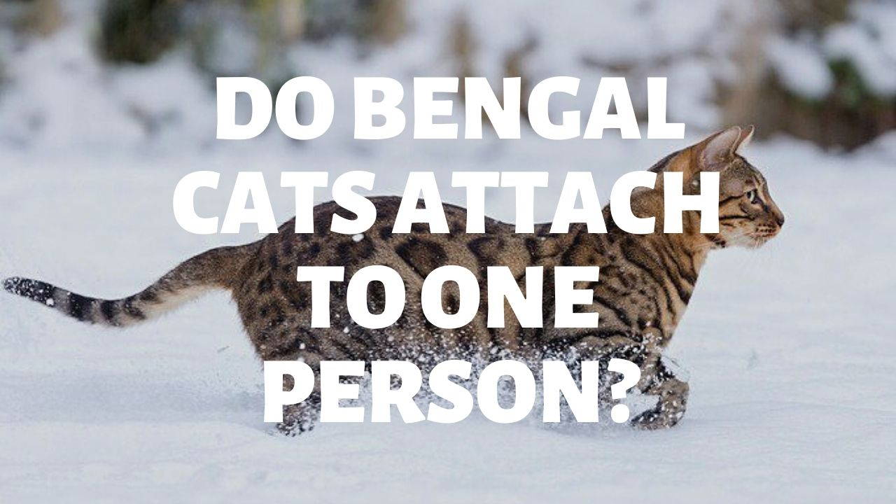 Do Bengal Cats Attach To One Person?