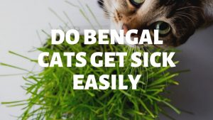 Do Bengal Cats Get Sick Easily?