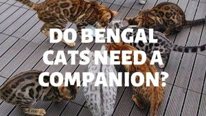 Do Bengal Cats Need Companions?