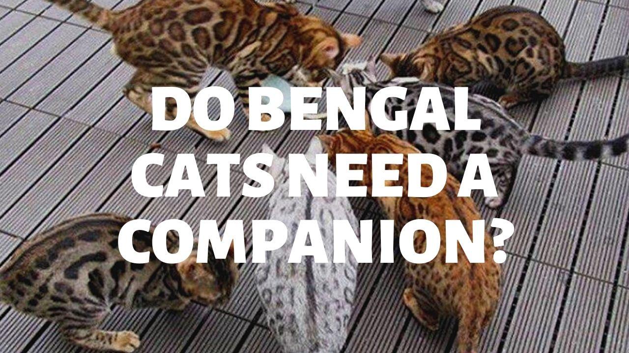Do Bengal Cats Need Companions?
