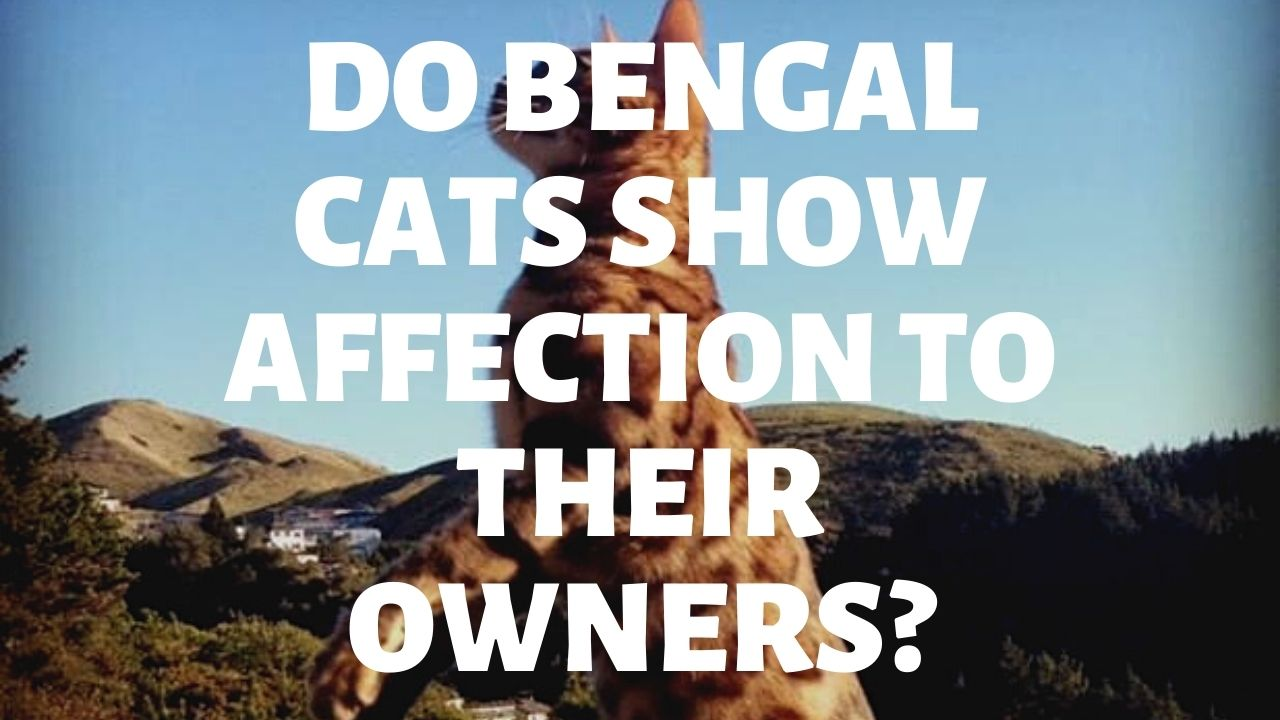 Do Bengal Cats Show Affection To Their Owners?
