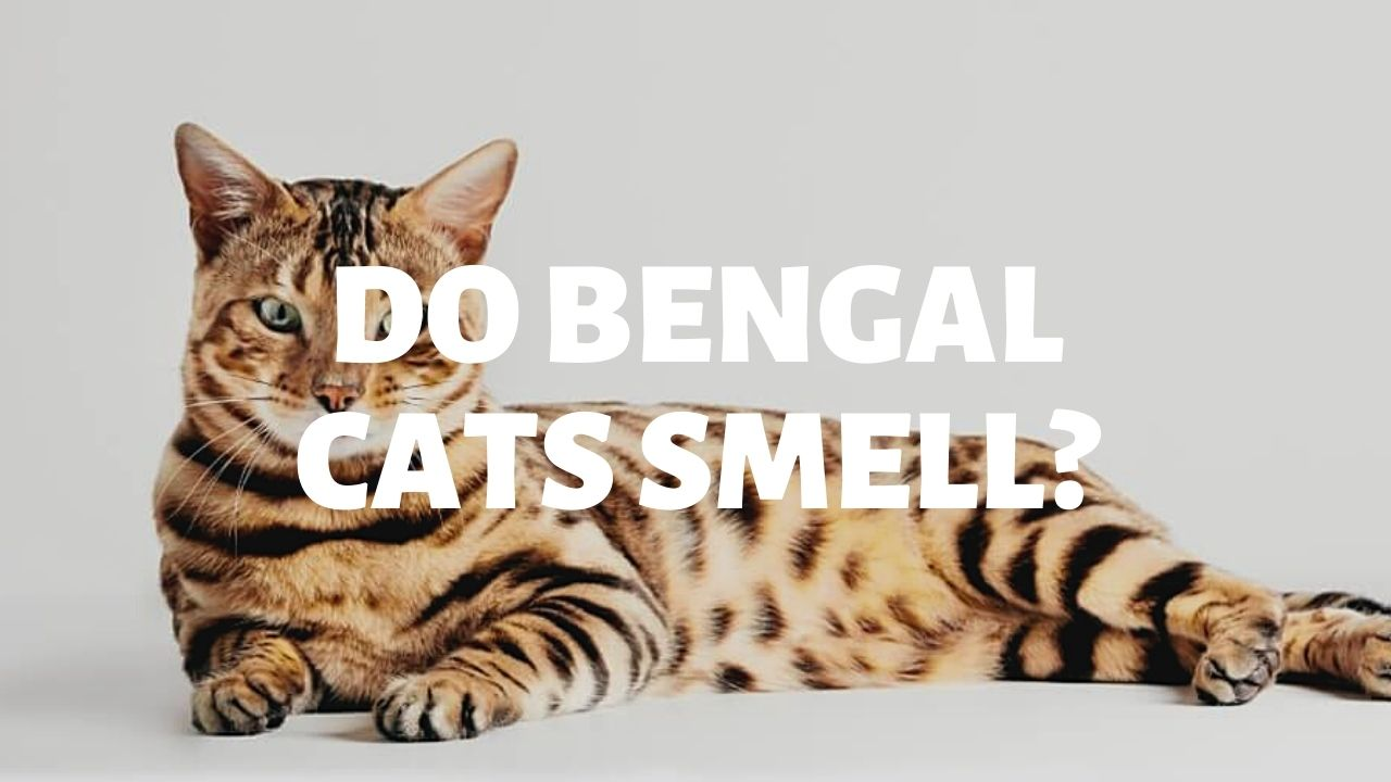 Do Bengal Cats Smell?