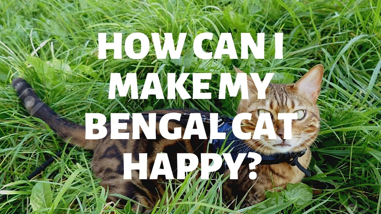 How Can I Make My Bengal Cat Happy?