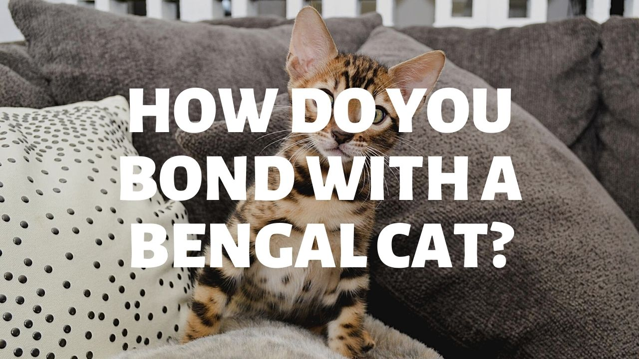How Do You Bond With A Bengal Cat?