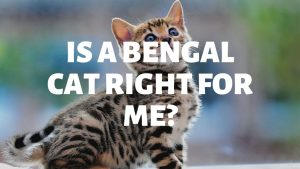 Is A Bengal Cat Right For Me?
