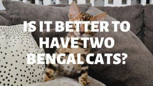 Is It Better To Have Two Bengal Cats?