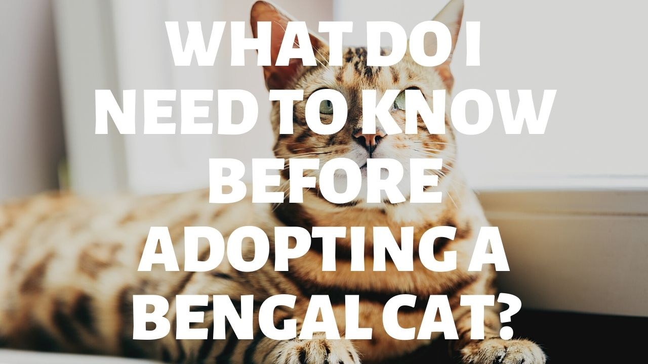 What Do I Need To Know Before Adopting A Bengal Cat?