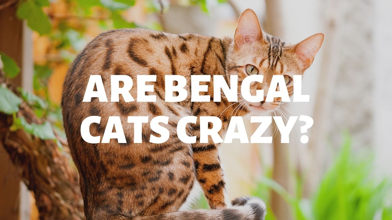 Are Bengal Cats Crazy?