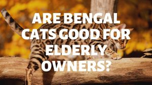 Are Bengal Cats Suitable For Elderly Owners?