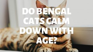 Do Bengal Cats Calm Down With Age?