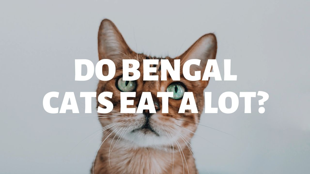 Do Bengal Cats Eat A Lot?