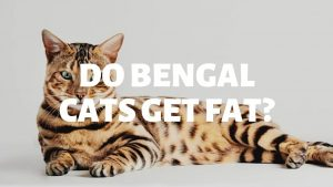 Do Bengal Cats Get Fat?