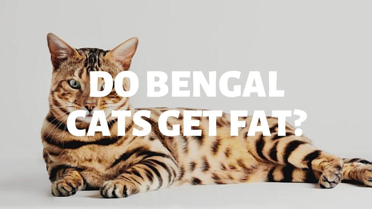 Do Bengal Cats Get Fat?