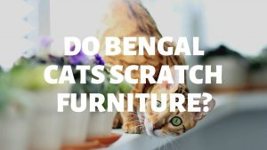 Do Bengal Cats Scratch Furniture?