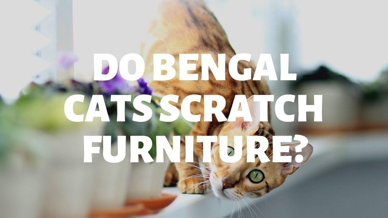 Do Bengal Cats Scratch Furniture?