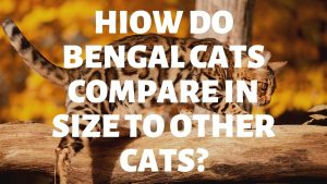 How Do Bengal Cats Compare In Size To Other Breeds?