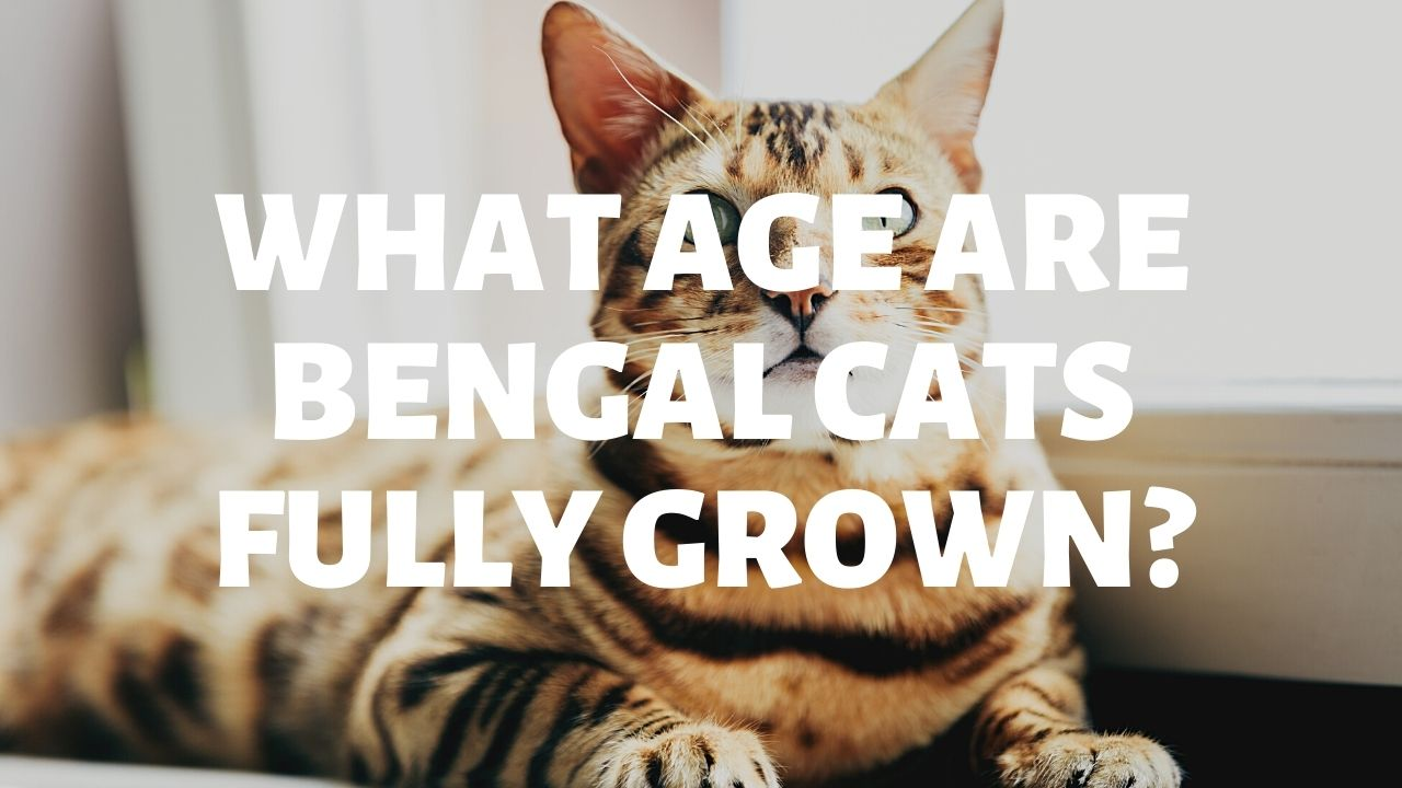 What Age Are Bengal Cats Fully Grown?