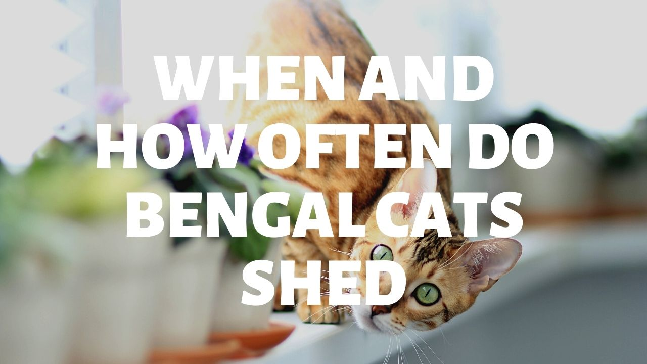 When & How Often Do Bengal Cats Shed?