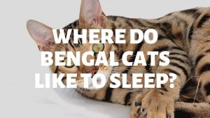 Where Do Bengal Cats Like To Sleep?