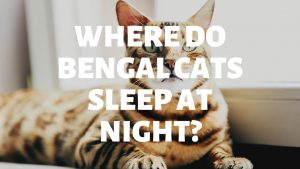 Where Do Bengal Cats Like To Sleep At Night?