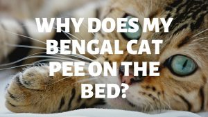 Why Does My Bengal Cat Pee On My Bed?