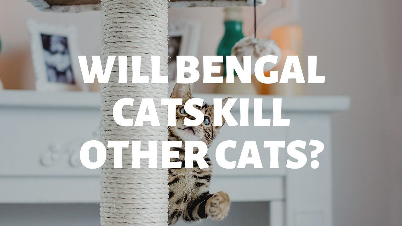 Will Bengal Cats Kill Other Cats?