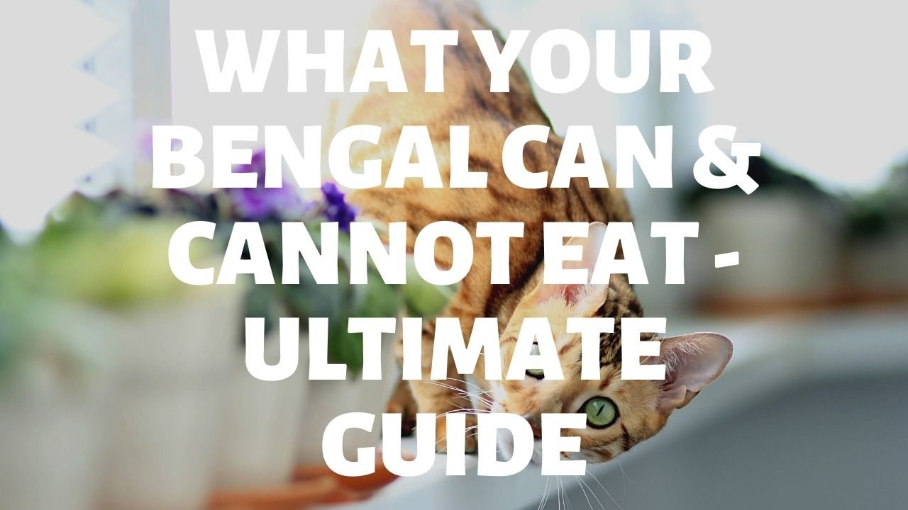 What Bengal Cats Can & Cannot Eat – The Ultimate Guide