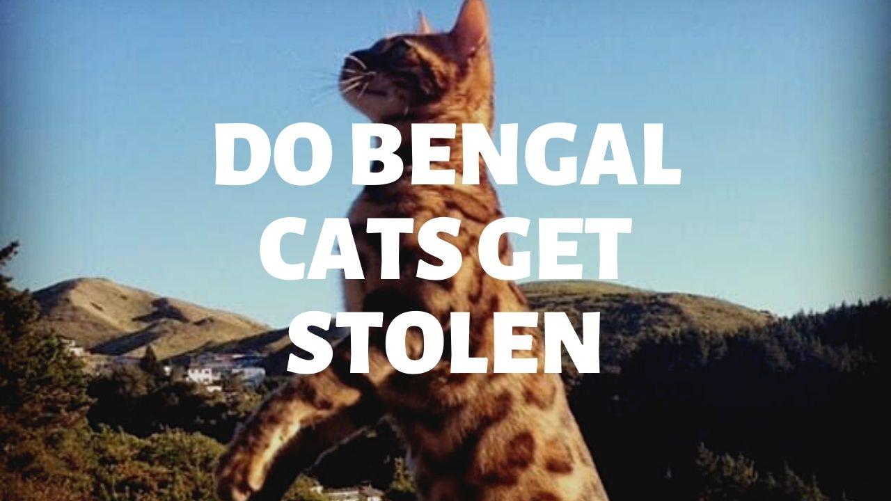 Do Bengal Cats Get Stolen?