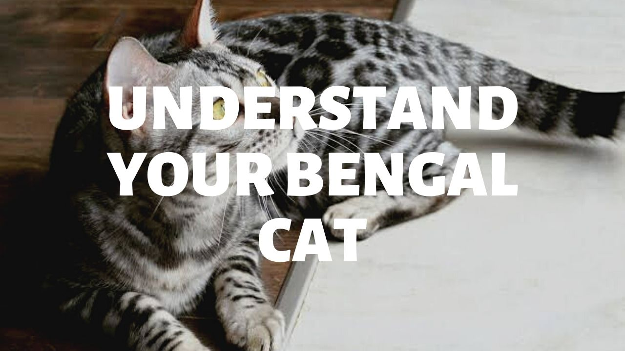 Improve Communication & Solve Behavior Issues With Your Bengal