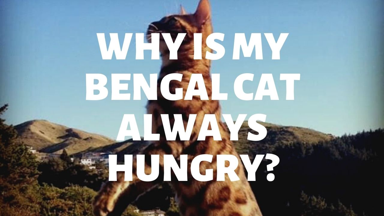 Why Is My Bengal Cat Always Hungry?
