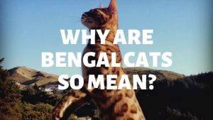 Why Are Bengal Cats So Mean?