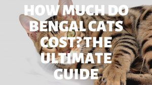 How Much Do Bengal Cats Cost? Bengal Cat Price Guide